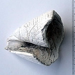 Conus Virgo or Turbo discard after making a Ndoro from the end of it (2)
