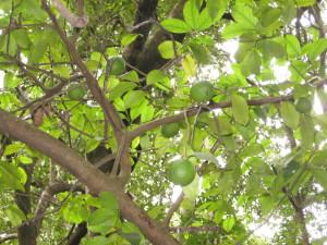 The trees are still successfully bearing a number of fruit, Piringani, Zimbabwe. Photo © by Chris Dunbar