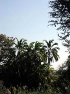 Wild Date Palms, Zimbabwe. Photo © by Chris Dunbar